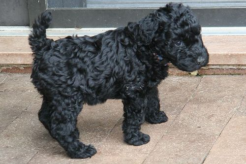 Kerry Blue Terrier Without Beard