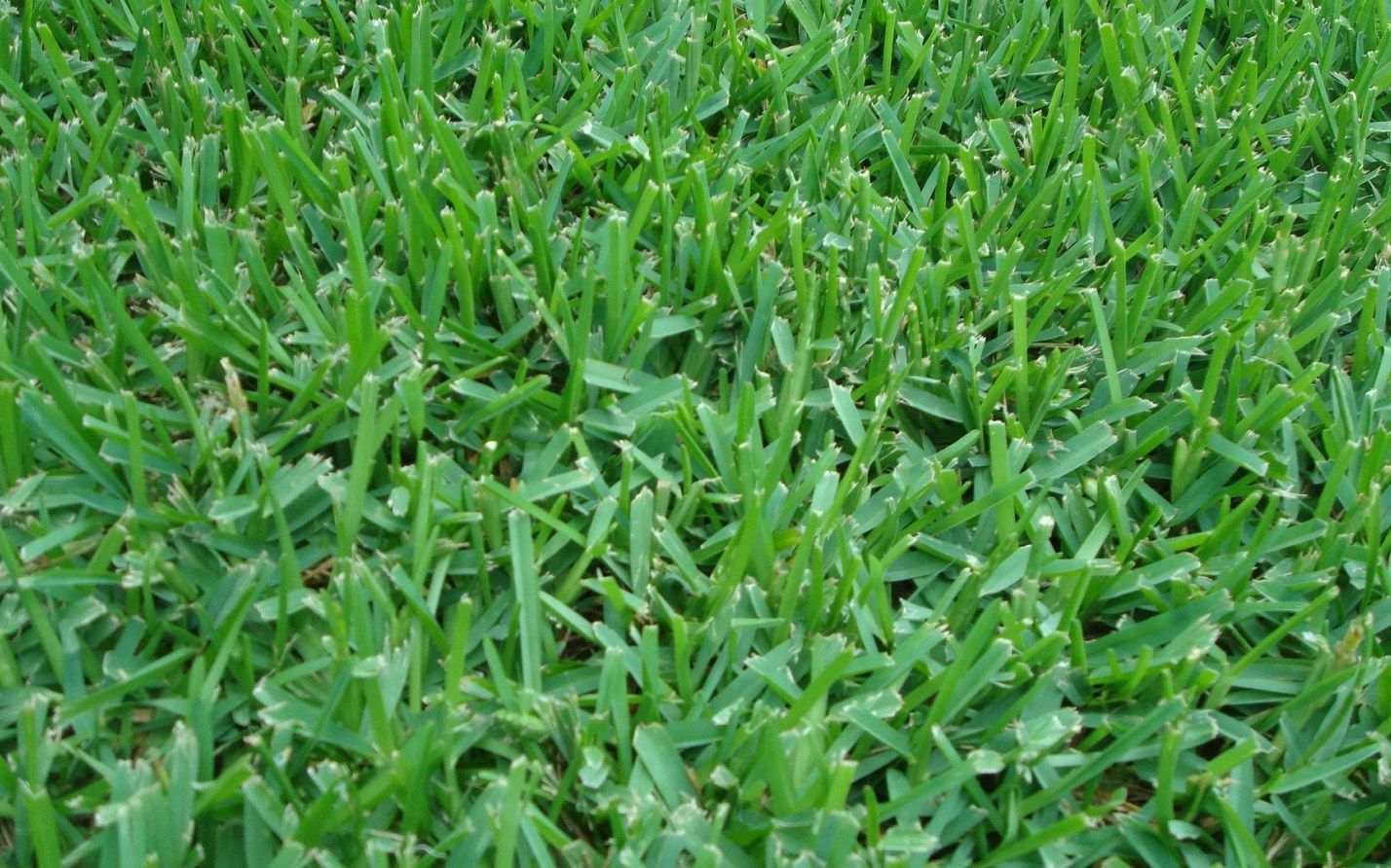 Where To Find Good St Augustine Grass Seed How To Grow It Homesthetics Inspiring Ideas For Your Home Grass Seed Planting Grass St Augustine Grass