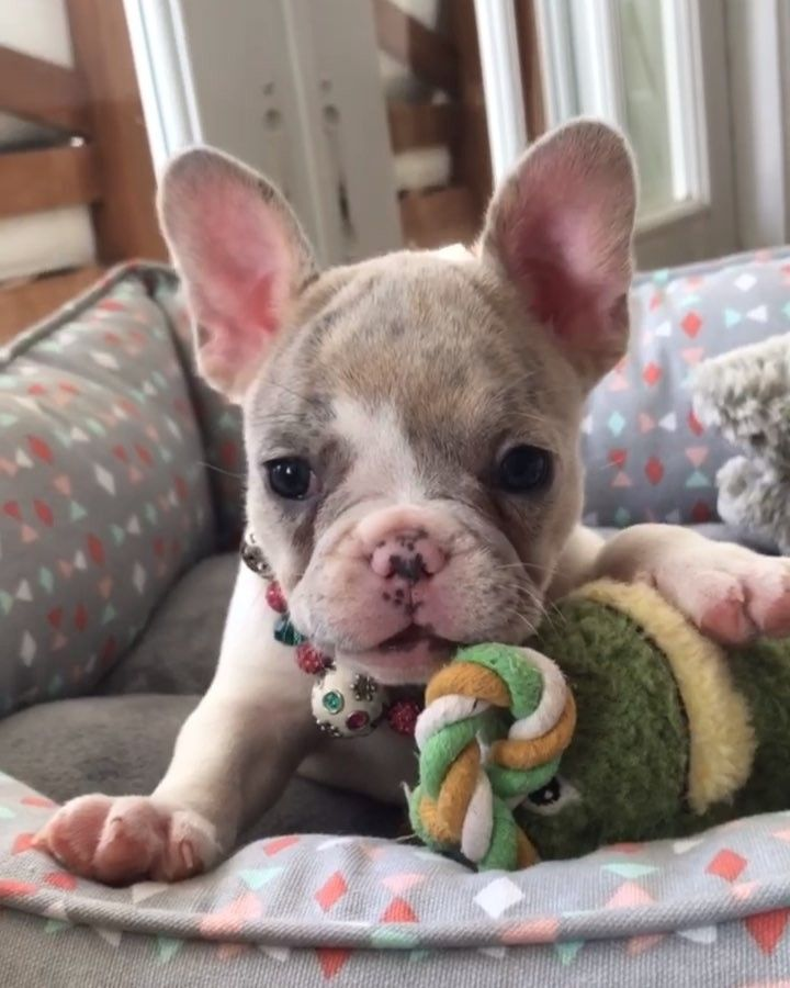 Willow Being A Goofy Girl Www Poeticfrenchbulldogs Com