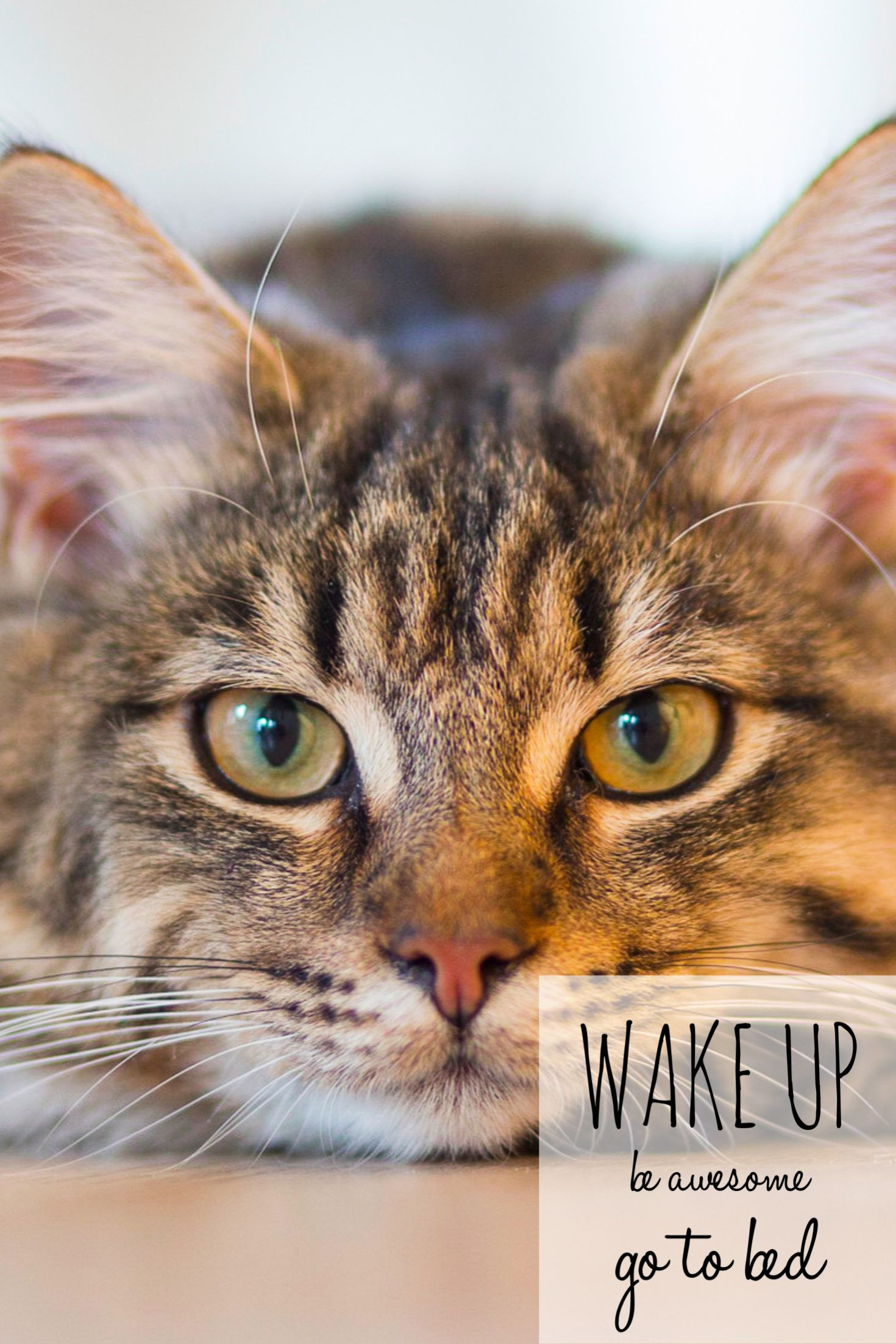 Pin by CatJoy on Cat Joy Tabby cat, Cute cats photos