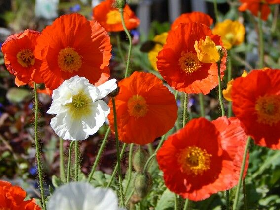 Poppies for Spring.