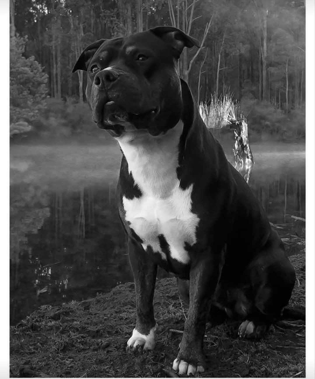 Amstaff American Staffy American Staffordshire Terrier Dog Black Amstaff Puppy Puppies Animali
