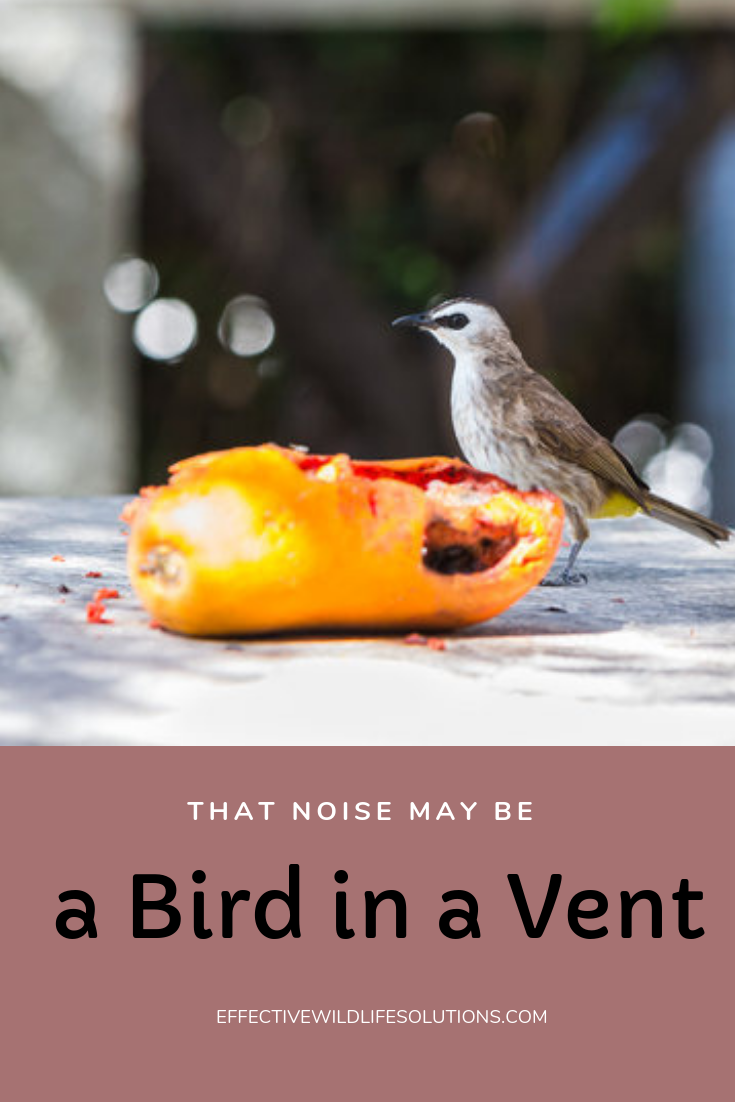 That Noise May Be A Bird In A Vent Effective Wildlife Solutions Bird Save Wildlife Wildlife Animals