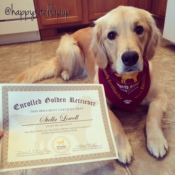 Study In 35 Years The Golden Retriever S Lifespan Halved Dogs
