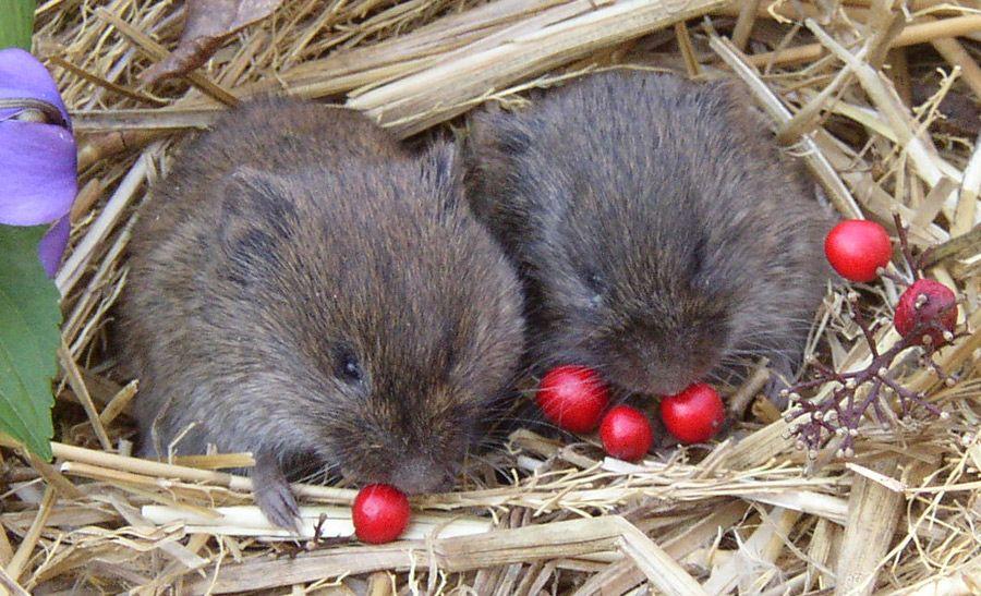prairie voles monogamous for life and good parents