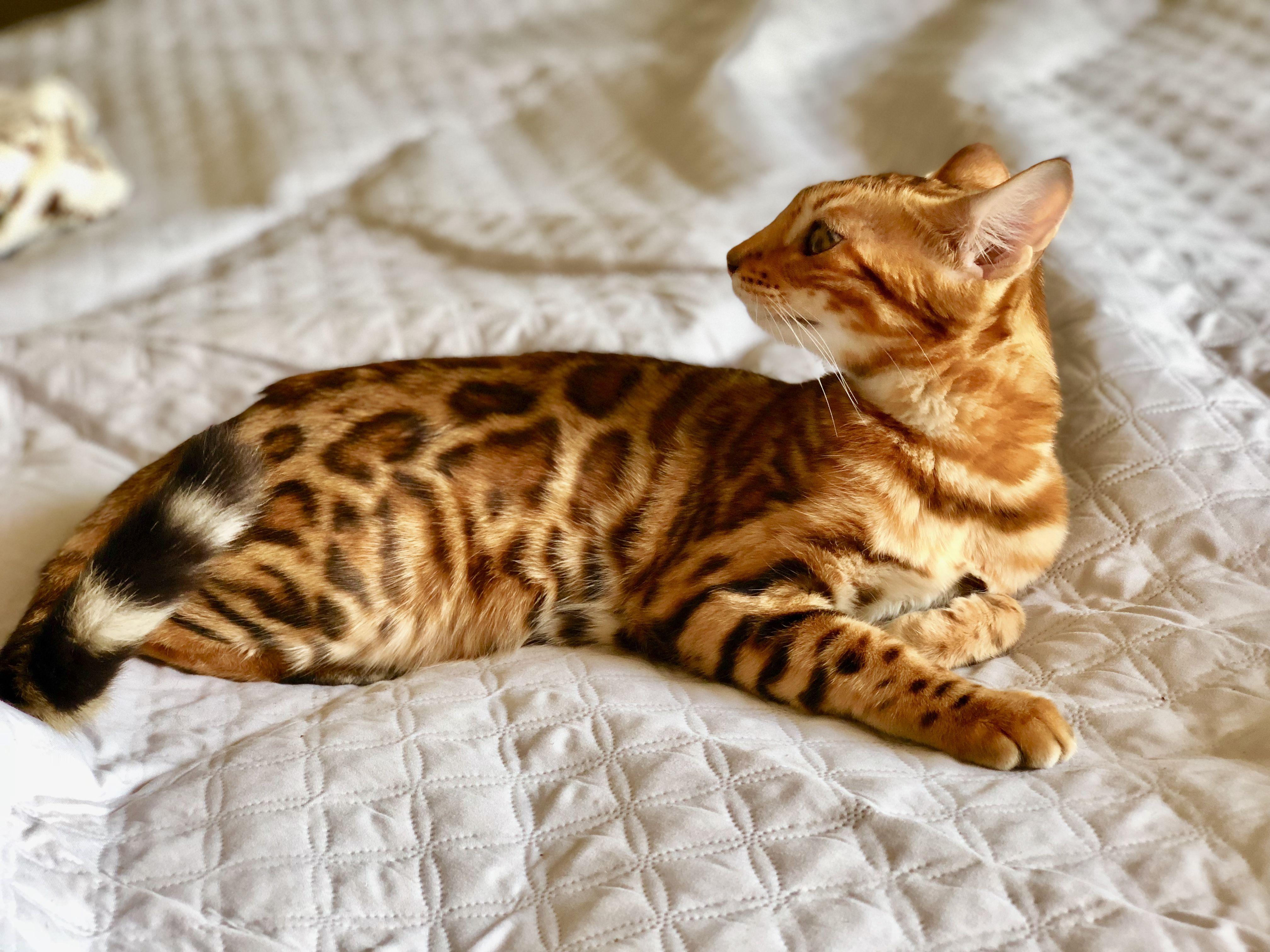 Bengal Kitten In 2020 Bengal Kitten Bengal Cat Bengal Kittens For Sale