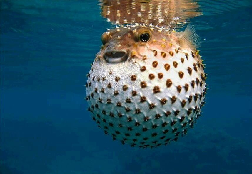 Full Blown Puffer Fish Cute Fish Ocean Animals Animals