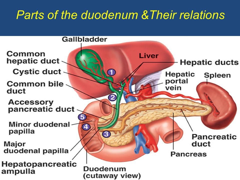 Duodenum Magdalene Project Org Gallbladder Anatomy Human Anatomy And Physiology