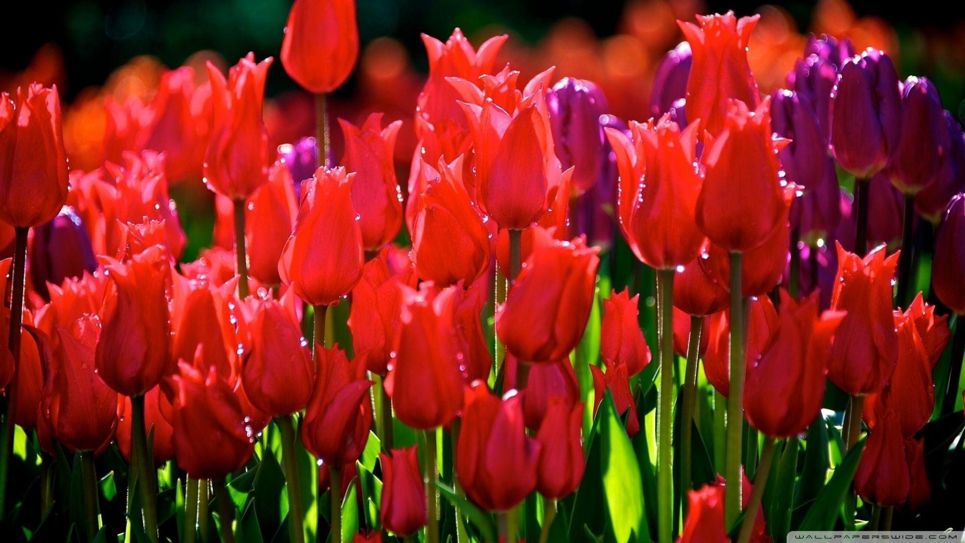 Tulips Hd Desktop Wallpaper High Definition Fullscreen Mobile Red Tulips Tulips Wallpaper Pictures