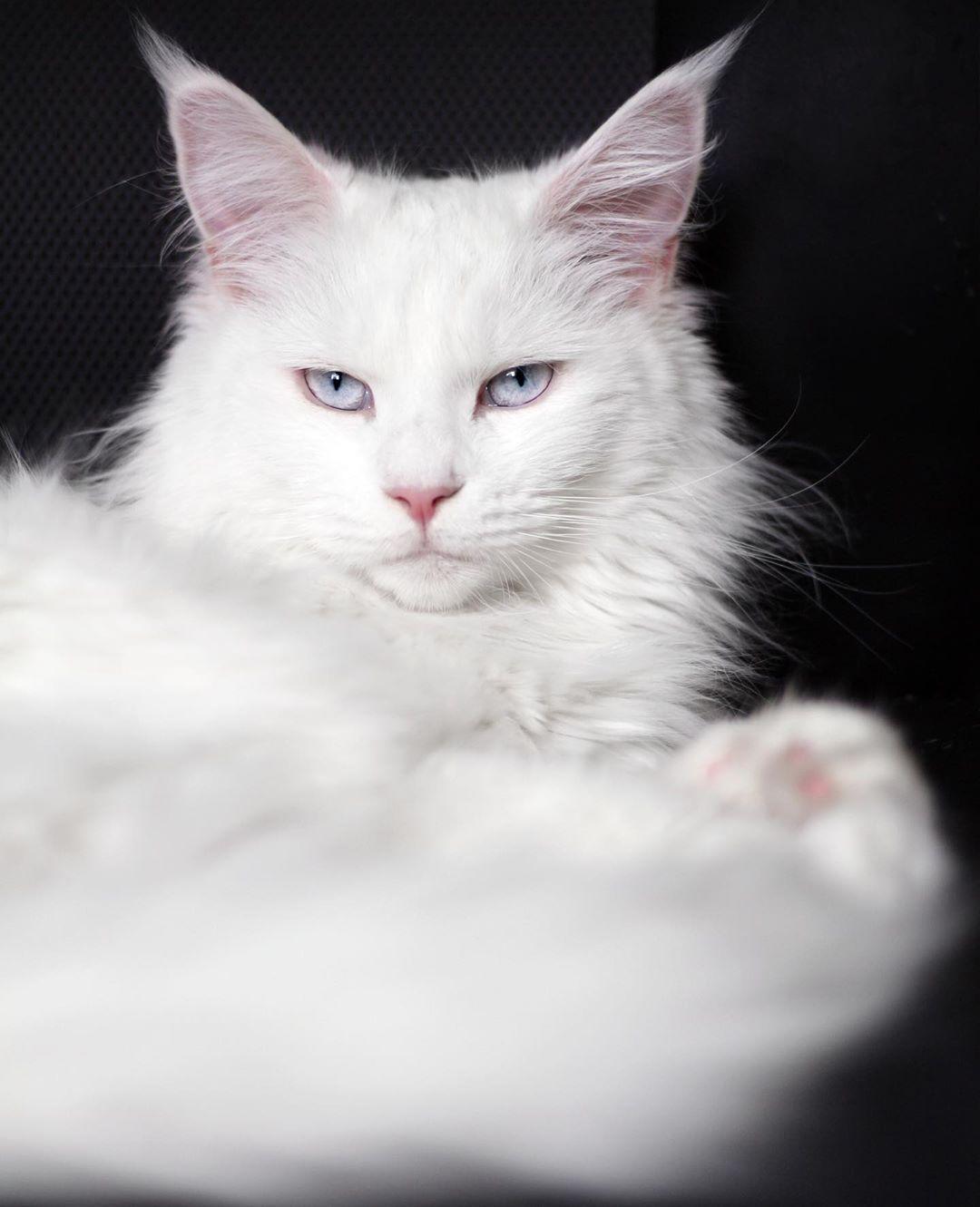 This Is My Serious Face Nala Balousfriends Bestcats Oftheworld Blueeyedcat Cat Catlover Catofinstagram Catphoto Cats Fea Hewan Lucu Hewan Lucu