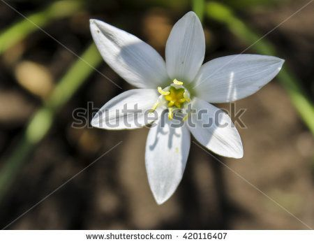 Image Result For Small White Flower With Six Pointed Petals And