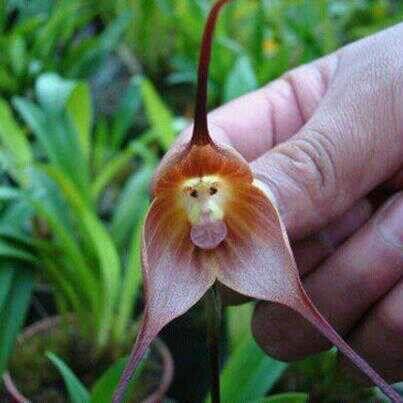 Adorable Monkey Flower
