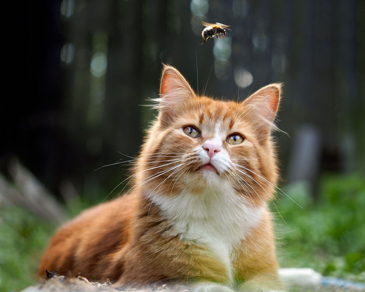 Eating Spiders Is It Harmful To Your Kittens Cat Spider Kitten Harmful Pawsometalk British Shorthair Cats Cats Funny Animals