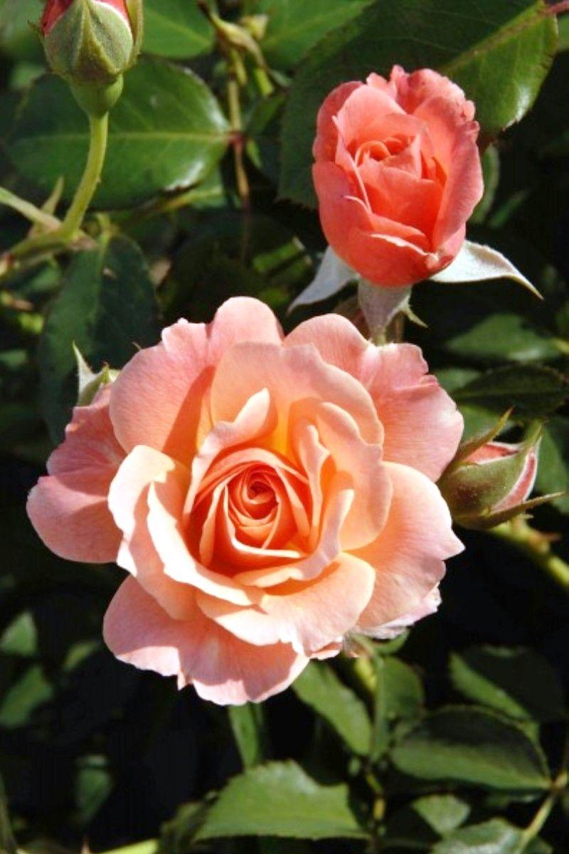 'Bordure Abricot' | Floribunda Rose. G. Delbard