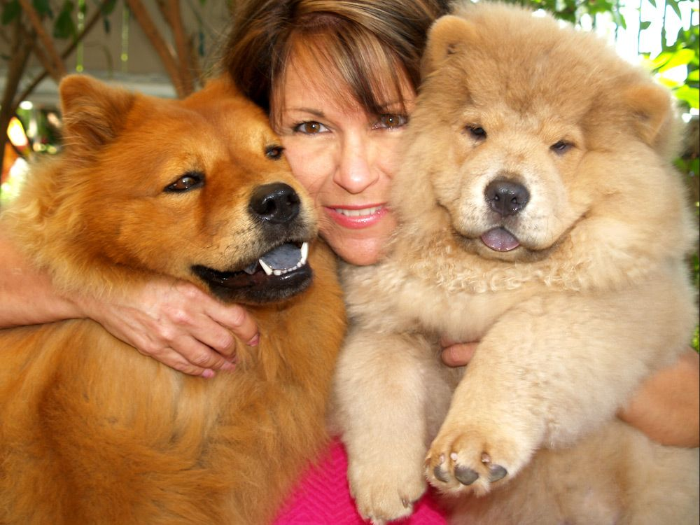 Black Chow Chow Lion Cut Having two #chowchow #dogs