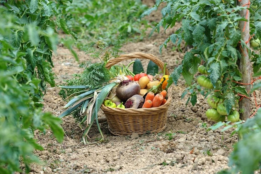 Les bonnes associations de légumes dans un potager bio