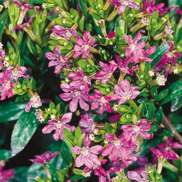 False Heather Mexican Heather Cuphea Hyssopifolia Also Known As Japanese Myrtle Hope To Obtain One Of These To Train S Landscaping Plants Plants Garden