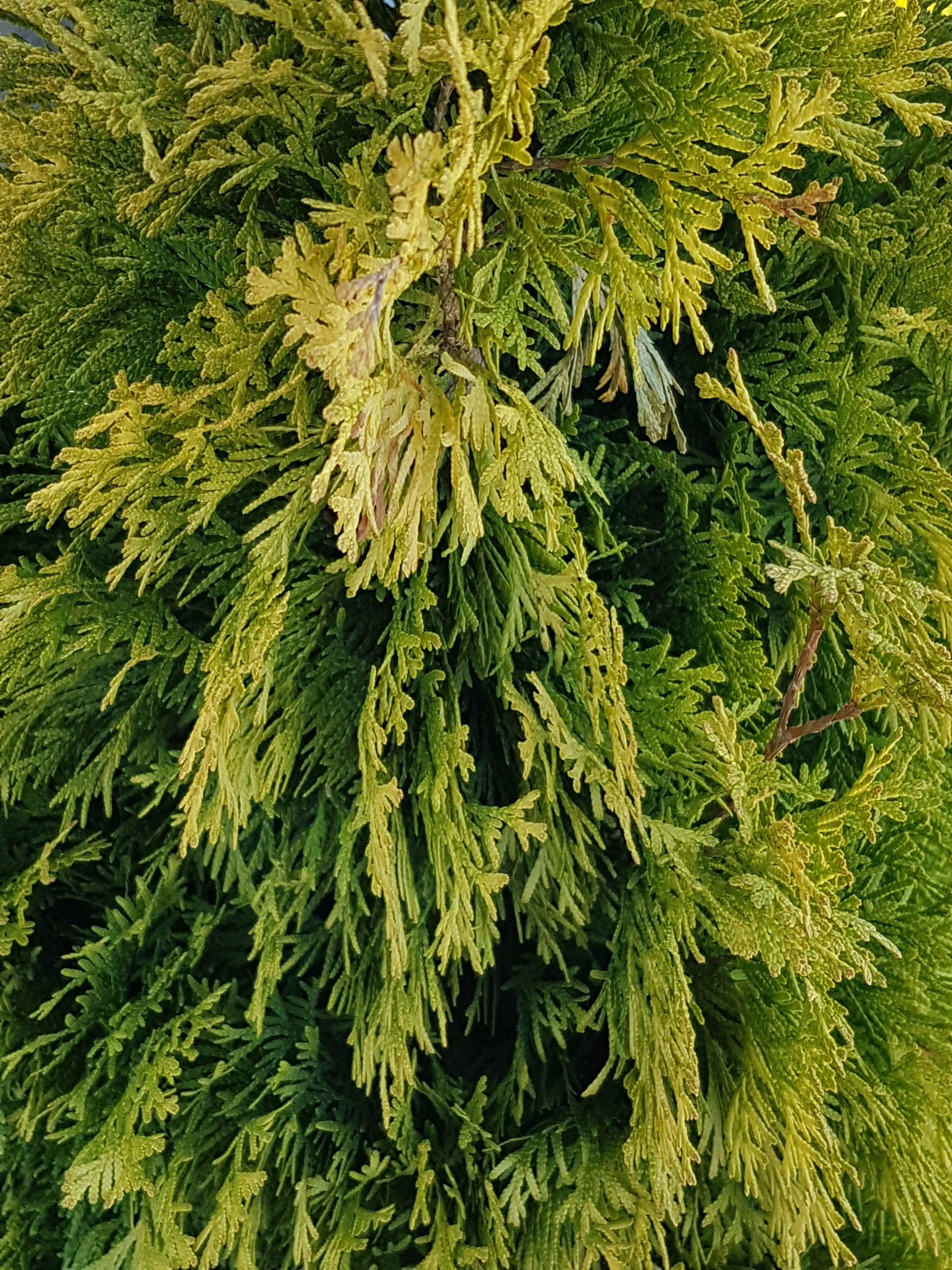 Amber Gold Cedar Plants, Spring plants, Plant nursery
