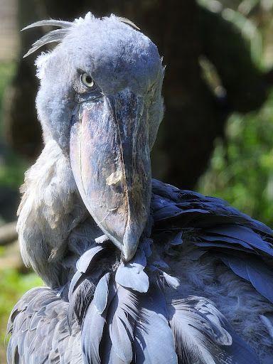 #shoebill