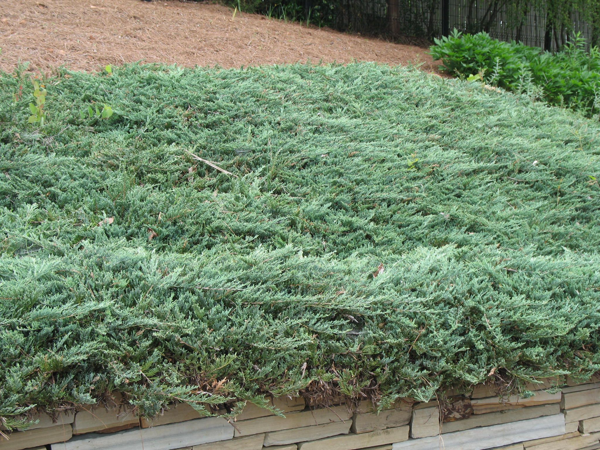 Creeping juniper ground cover good for slopes for Landscaping ground cover plants