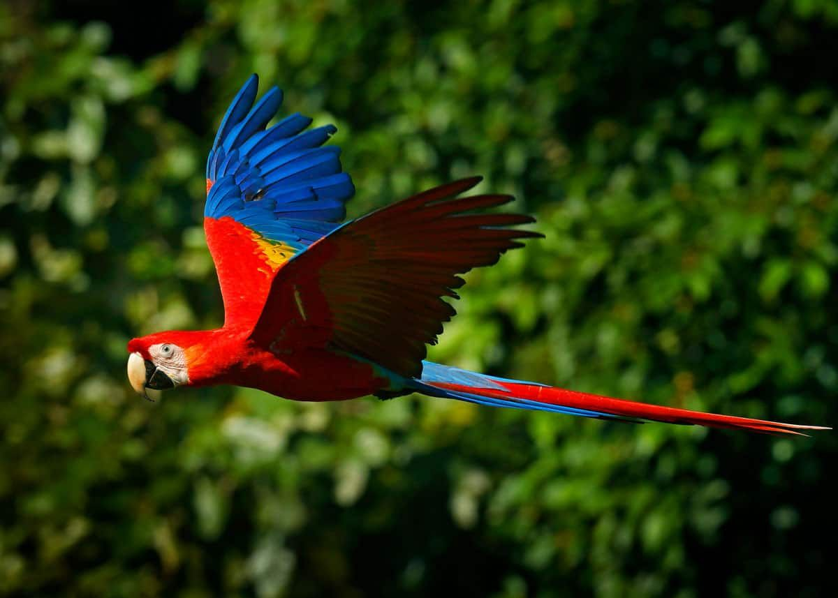 Parrot Vs Macaw Fight Comparison Who Will Win In 2020 Macaw Parrot Flying