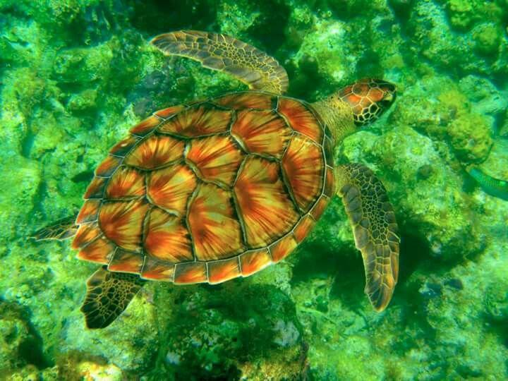 Beautiful green sea turtle