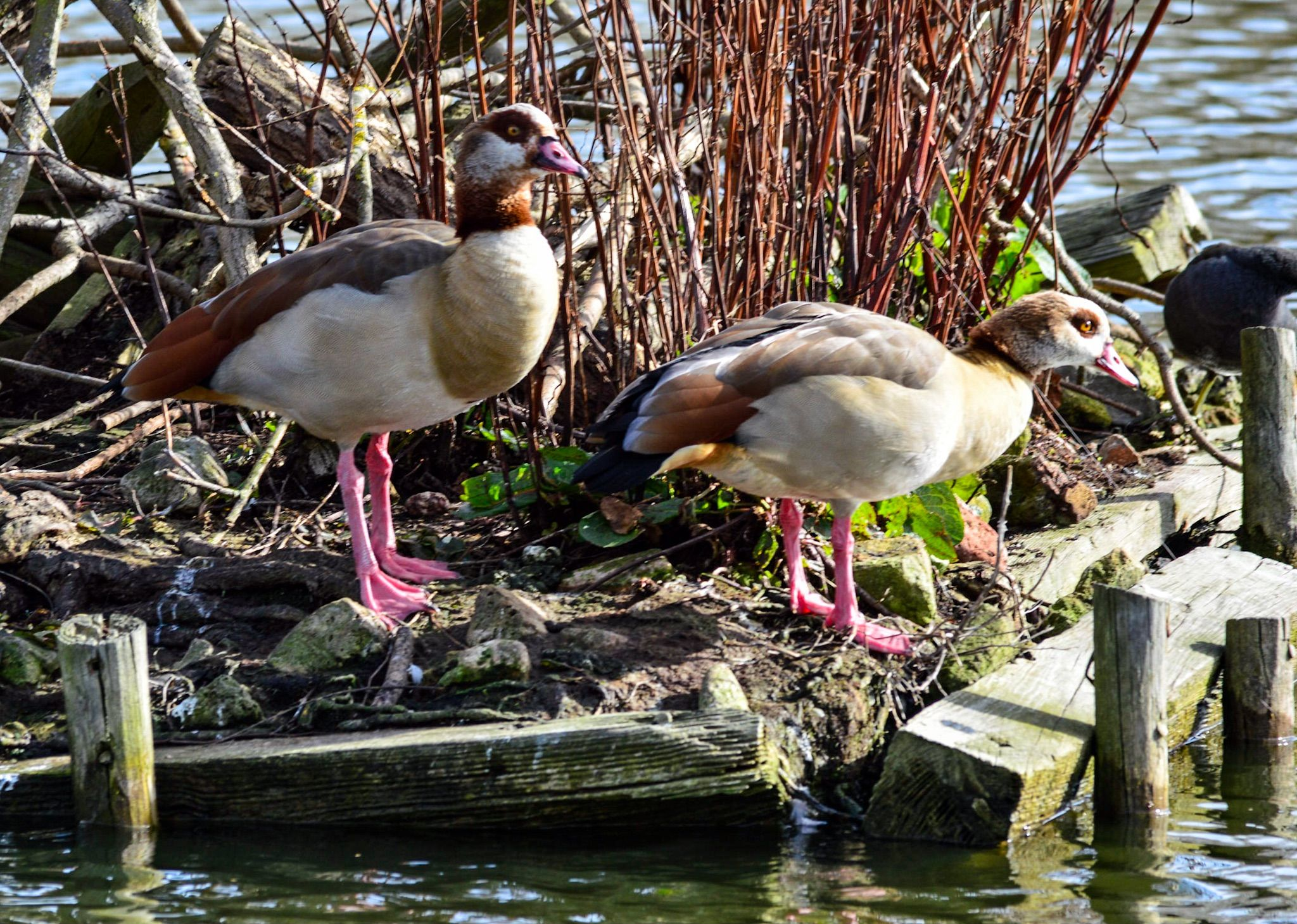 Mr & Mrs Egyptian Goose at Shoebury Park 28 Feb 2016 - Sigma @ 500 and some minor updates in Lightroom