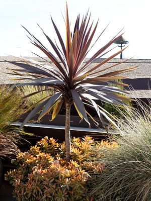 Cordyline australis 'red sensation' • Cabbage Palm, Cabbage Tree, Ti Kouka, Torbay Palm, Dracaena Spike •  Tender Perennials • hardy to 0 degrees, full sun to partial shade, white flowers bloom mid summer to early fall, low water needs