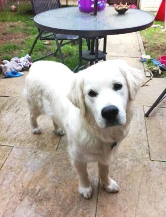 Reggie is a young Golden Retriever available to adopt from the charity Labrador Retriever Rescue Southern England http://www.charitychoice.co.uk/blog/six-specialist-dog-breed-rescue-shelters/99