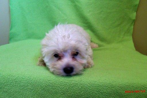 Zuchon Puppy For Sale In Paterson Nj Adn 20543 On Puppyfinder Com Gender Male Age 4 Months Old Zuchon Puppies For Sale Puppies For Sale Puppies