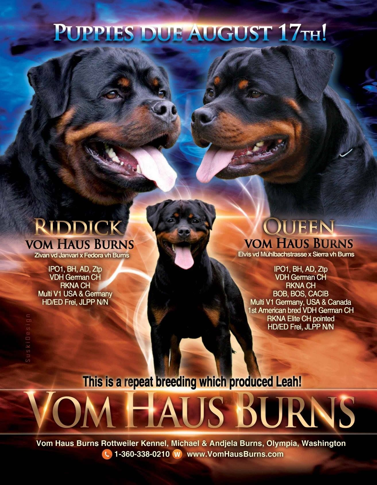 Rottweiler Breeders And Rottweiler Stud Dogs Rottweiler Breeders