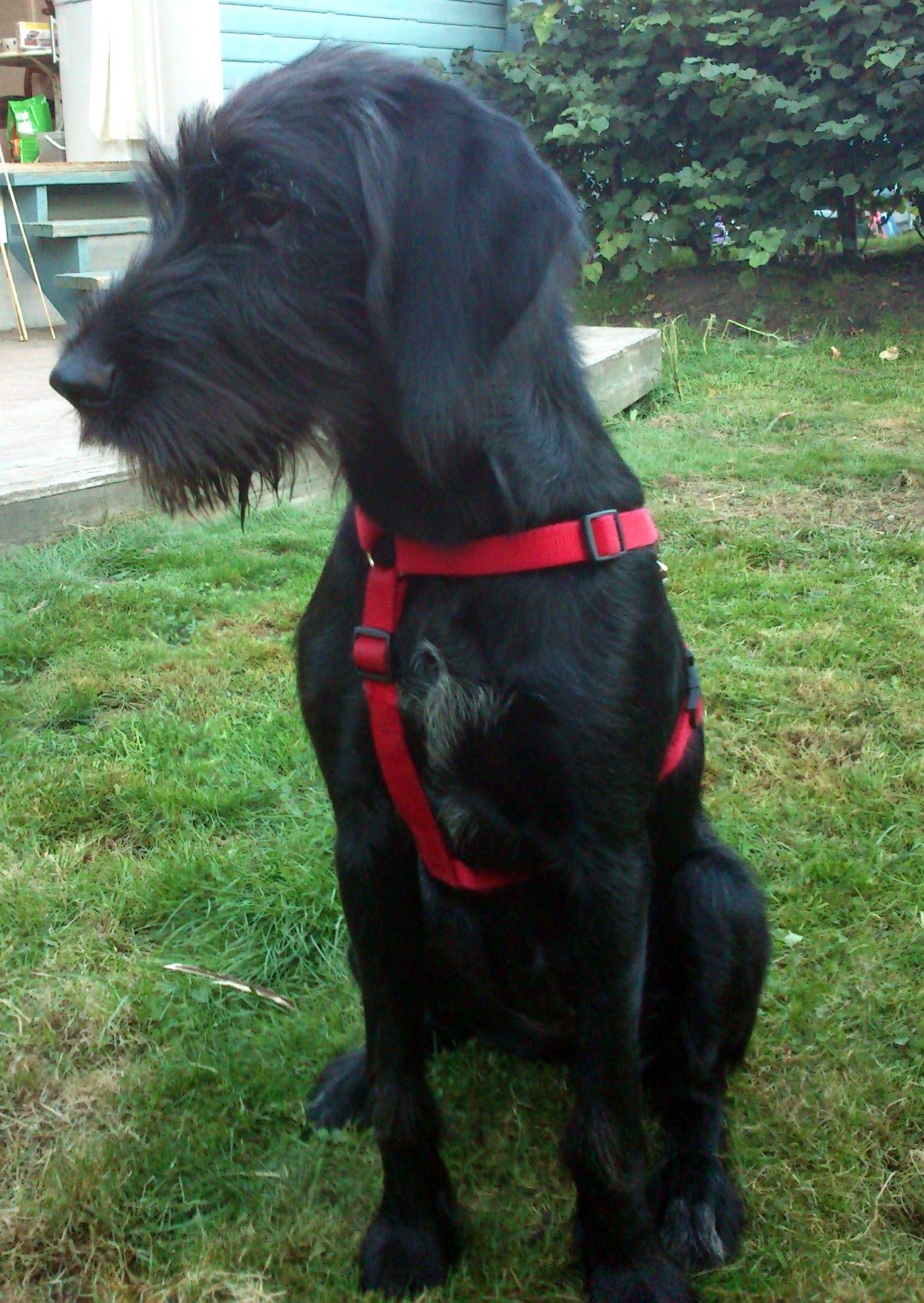Labrador Retriever German Wirehaired Pointer Mix German