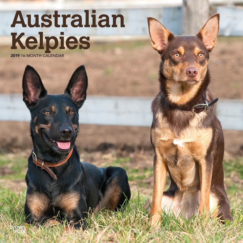 Australian Kelpies 2019 12 X 12 Inch Monthly Square Wall Calendar Animal Dog Breeds Isbn 978 1 9754 0365 Australian Kelpie Dog Dog Breeds Australian Kelpie