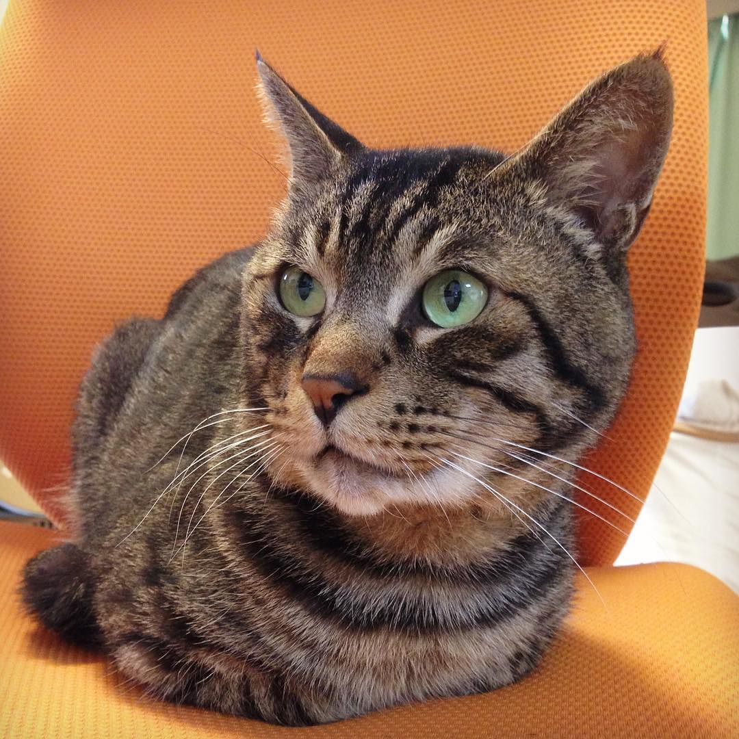夕方ムサシさん男メガネのイス奪ったったThis is my seat. #musashi #mck #cat #キジトラ #ムサシさん by _daisy