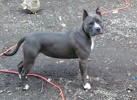 Lost Dog American Staffordshire Terrier In Kansas City Mo Pet