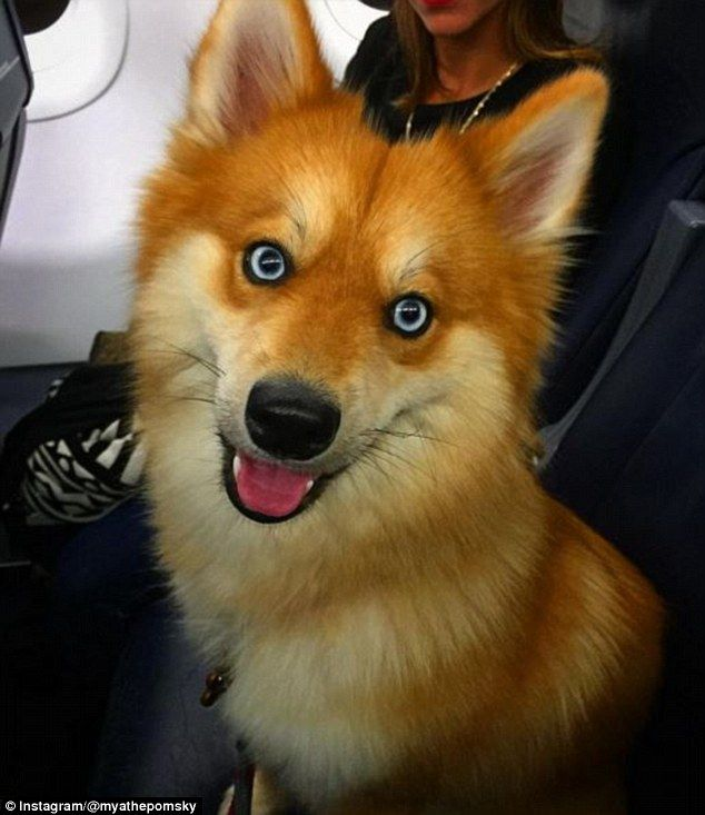 Image result for red dog with blue eyes | Random Animals ...