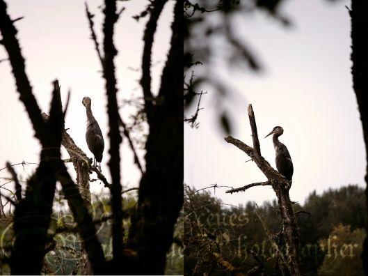 Sarah's Scenes: Great Blue Heron
