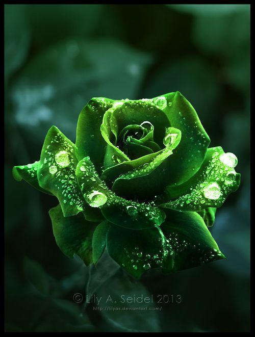 Queen Of The Forest Green Rose With Dewdrops Imagens De Rosas Rosas Amarelas Ideias De Jardinagem