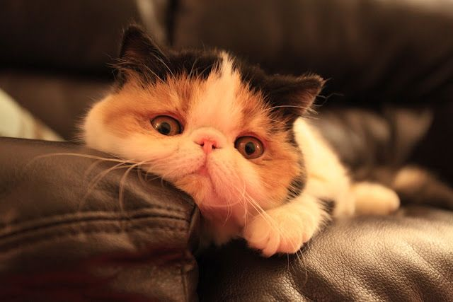 Exotic Shorthair Men What Your Cat Says About You