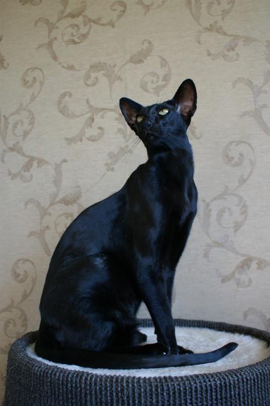 Lovely Itty Bitty Kitty | Siamese Cats | Pinterest | Cats ...
