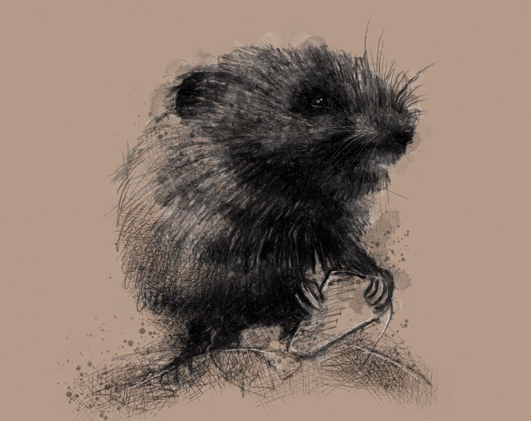 One of my sketch a day drawings Meadow vole #drawing #http ...