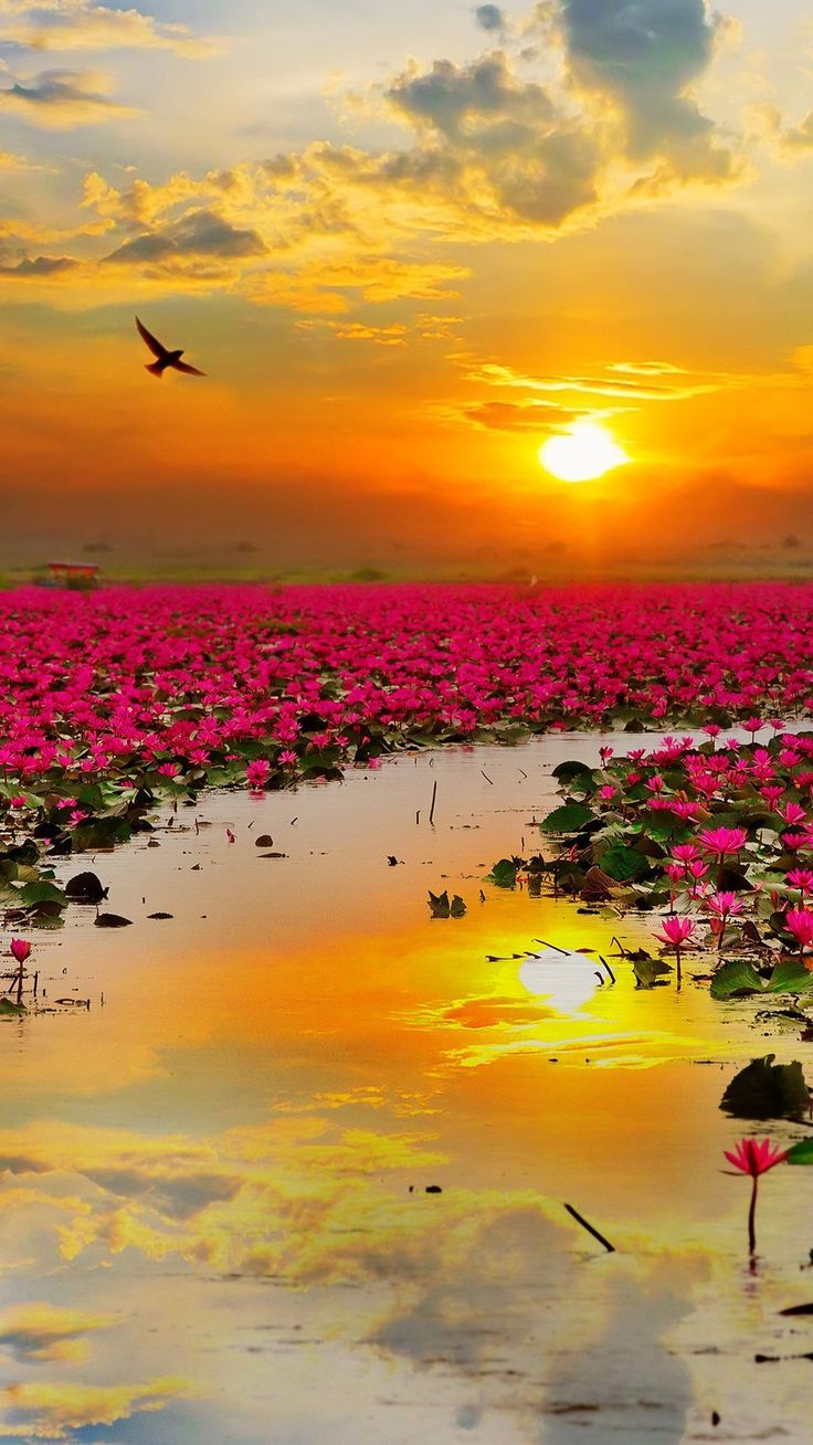 Nature Lotus Flowers Wallpapers Hd 4k Background For Android Click Here To Download Nature L Beautiful Nature Nature Photography Beautiful Landscapes
