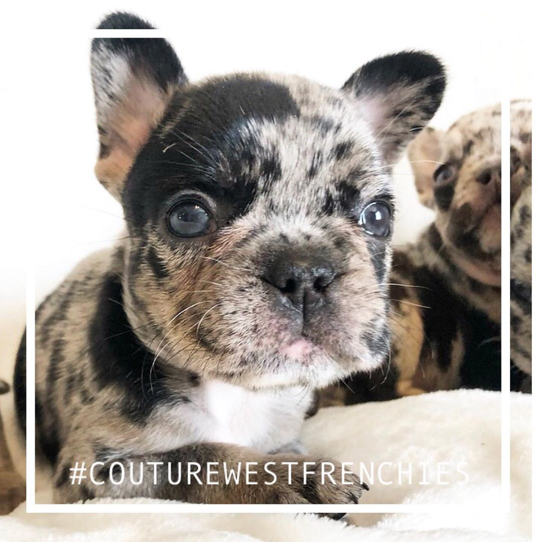 Black And Tan Tri Merle Female Available A Lil Wayne Production