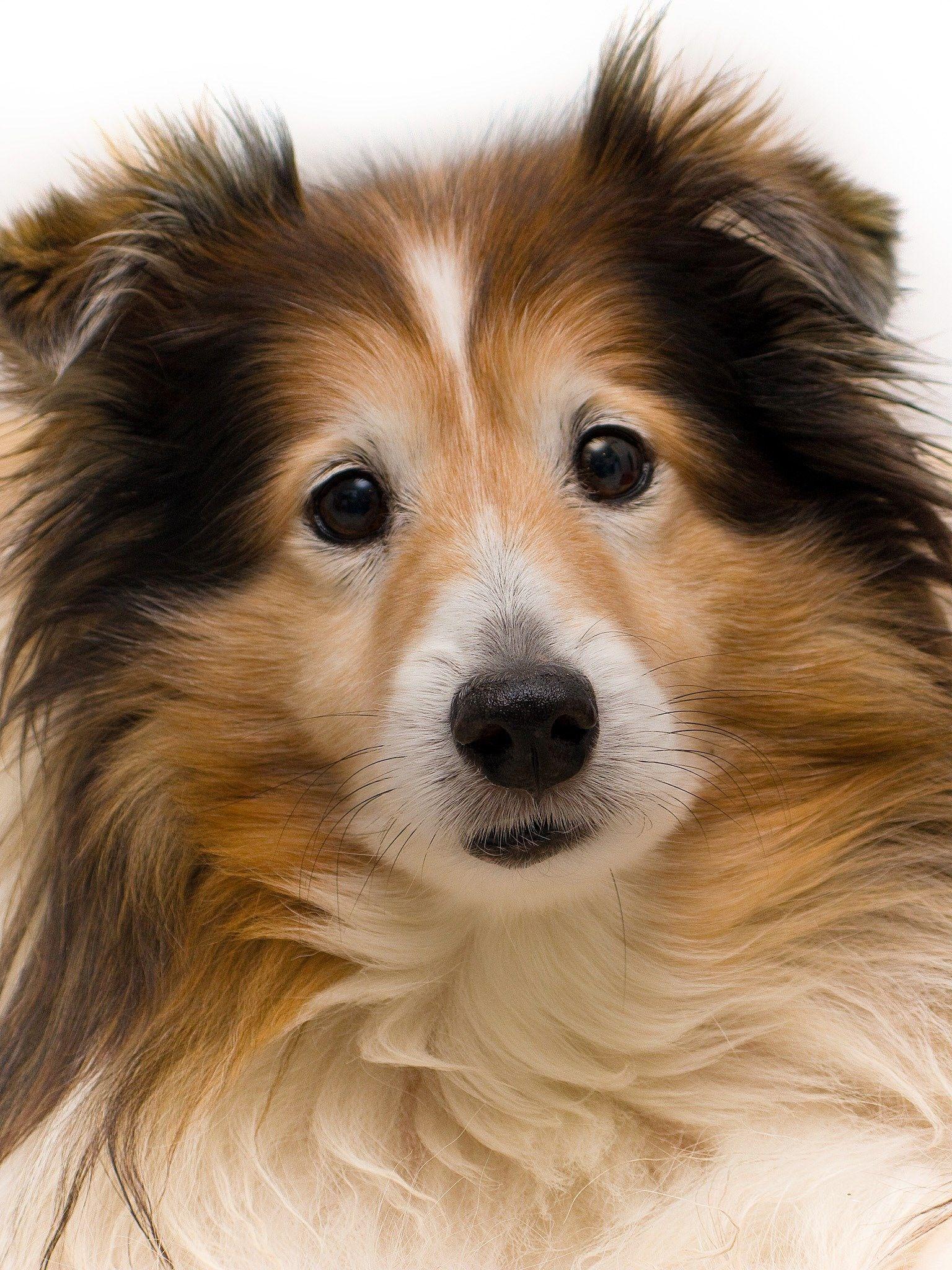 Pin By Sue Hart On Shelties Sheltie Dogs Sheltie