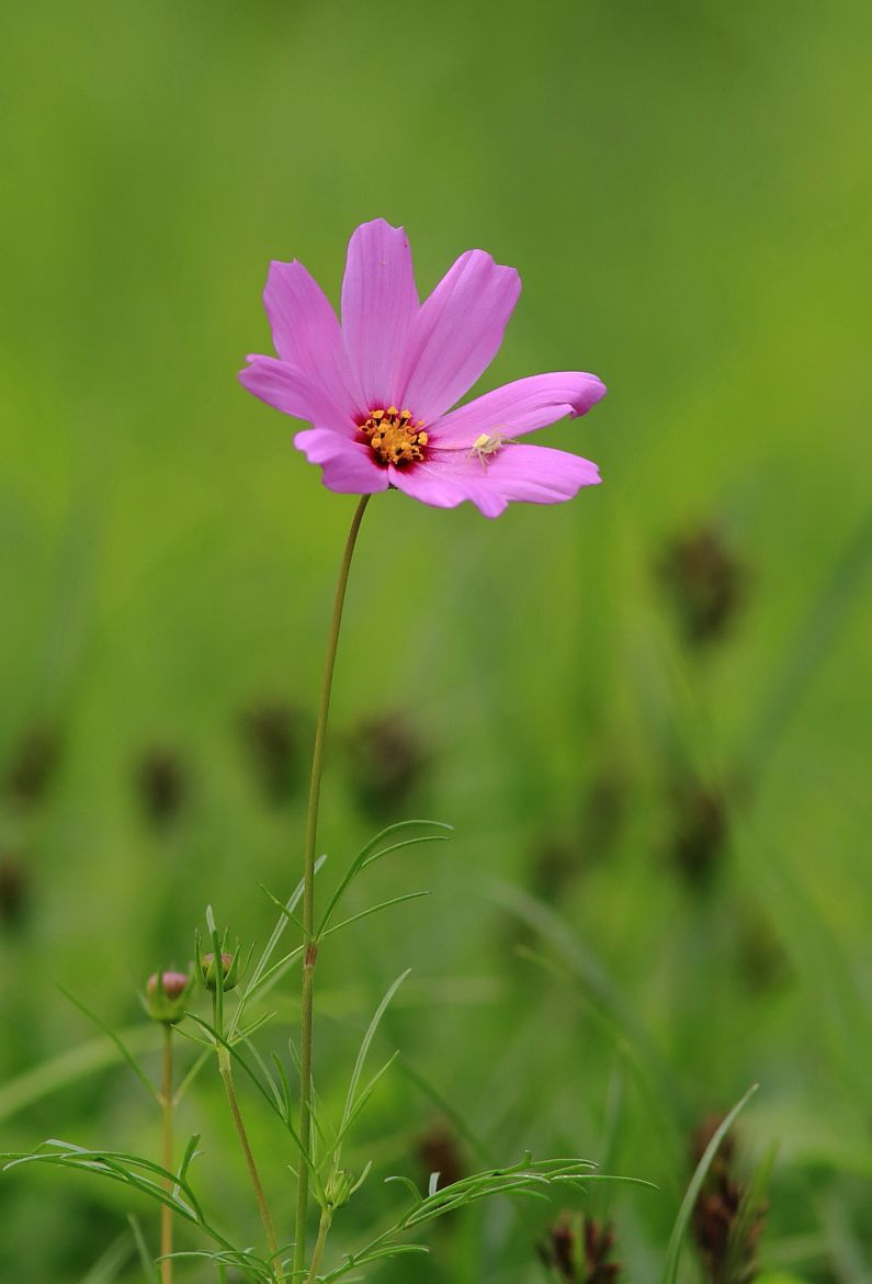 Photograph Cosmos And Its Friend By Paul Hsieh On 500px Rare Flowers Flowers Nature Flower Photos