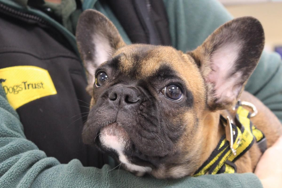 Chase A Rescue French Bulldog Dogs Dog Adoption Rescue Dogs