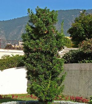 Yew Pine Trees To Plant Backyard Plants Landscaping Plants