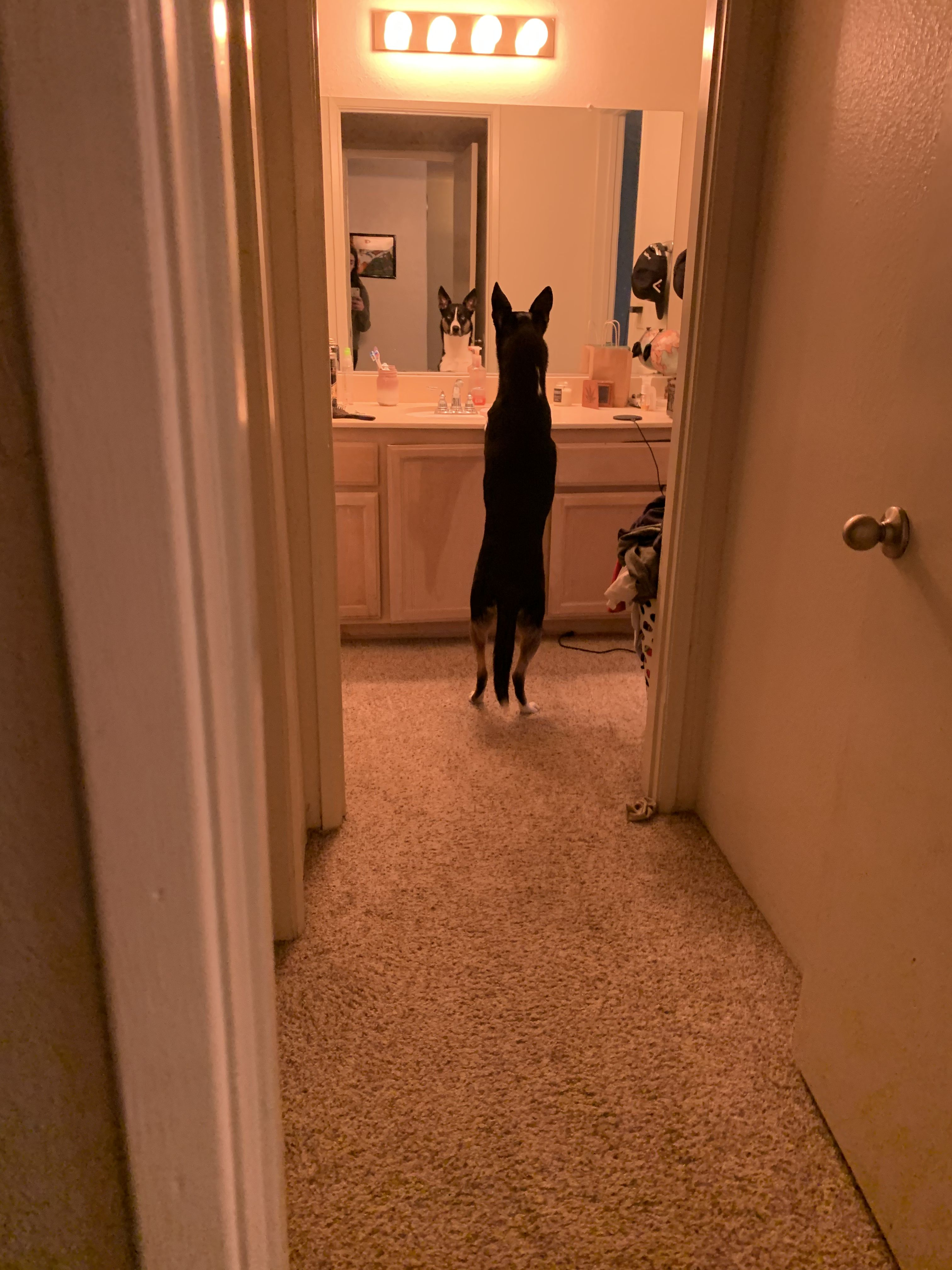 Picture Of Dogs Looking In Mirror