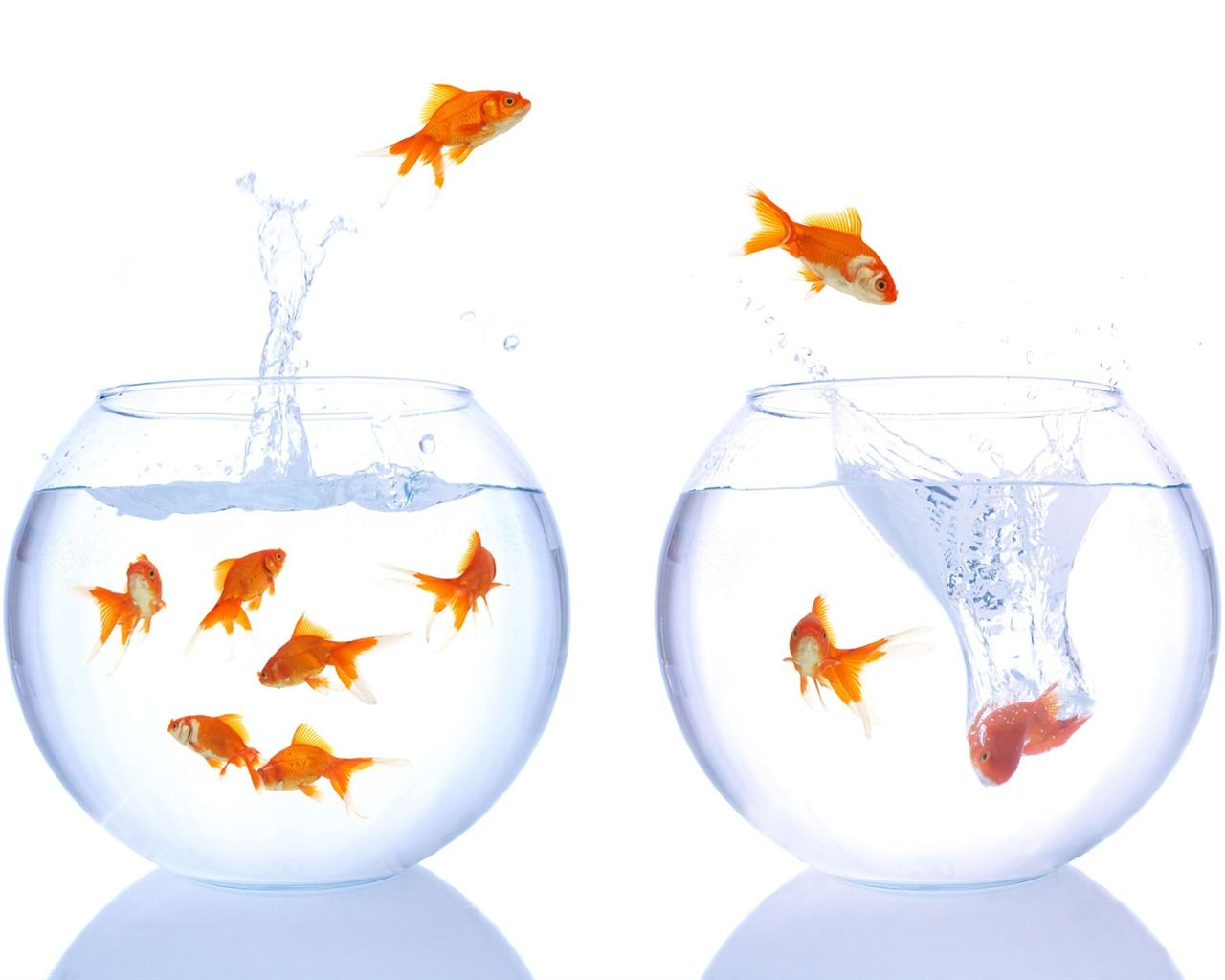 Goldfish jumping from one bowl to another goldfish jump for Remplir un aquarium poisson rouge