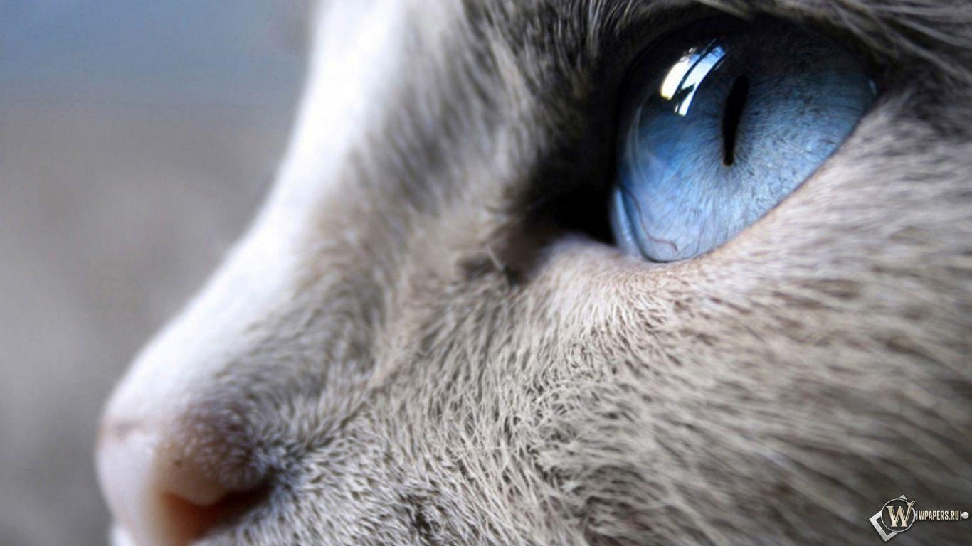 Wallpapers Katze Hd Bild Blaue Augen Katzen Macro Siam Tiere